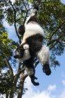 lemurien.madagascar.4