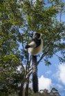lemurien.madagascar.5