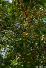 ladakh.leh.abricot.amande.3