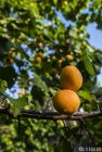 ladakh.leh.abricot.amande.4