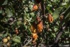 ladakh.leh.abricot.amande.6