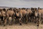 mongolie.gobi.chameaux.tonte.20