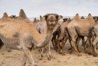 mongolie.gobi.chameaux.tonte.21
