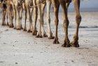 ethiopie.danakil.afar.caravanes.13