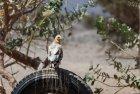 ethiopie.danakil.afar.percnoptere.2