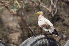 ethiopie.danakil.afar.percnoptere.5