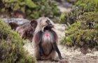 ethiopie.simien.gelada.15