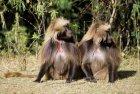 ethiopie.simien.gelada.22