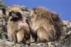 ethiopie.simien.gelada.25