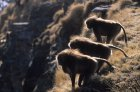 ethiopie.simien.gelada.37