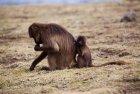 ethiopie.simien.gelada.7