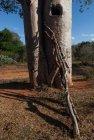 madagascar.baobab.mangoky.35