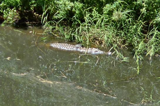 n157/tchad.ennedi.archei.crocodile.5.jpg