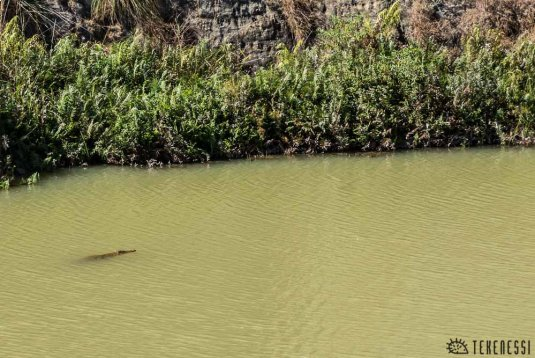 n320/crocodile.madagascar.makay.1.jpg