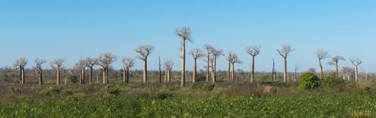 n522/allee.baobab.madagascar.1.jpg
