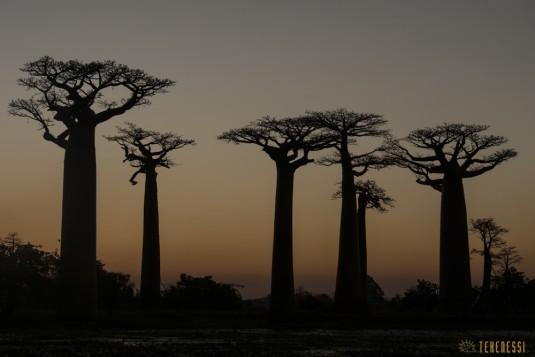 n522/allee.baobab.madagascar.10.jpg