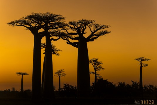 n522/allee.baobab.madagascar.11.jpg