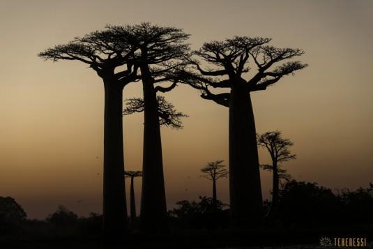 n522/allee.baobab.madagascar.13.jpg
