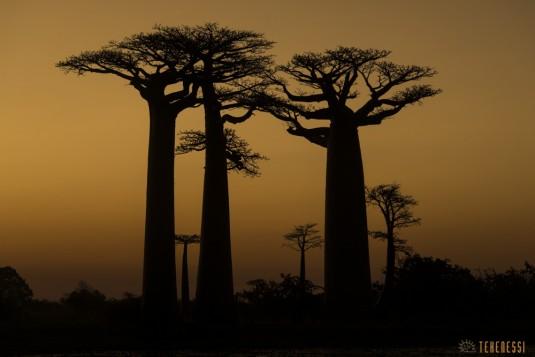 n522/allee.baobab.madagascar.14.jpg