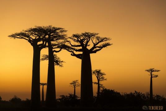n522/allee.baobab.madagascar.15.jpg
