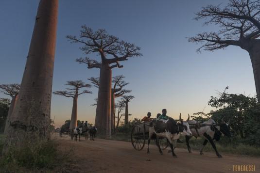 n522/allee.baobab.madagascar.18.jpg