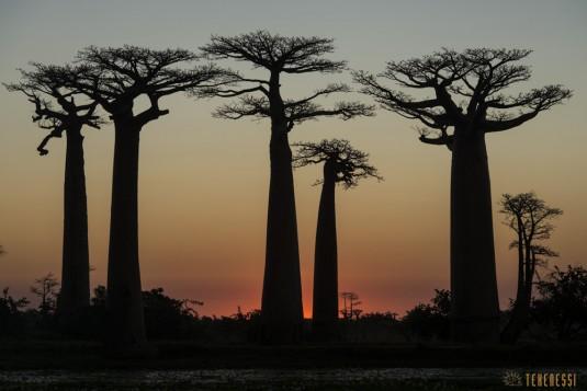 n522/allee.baobab.madagascar.8.jpg