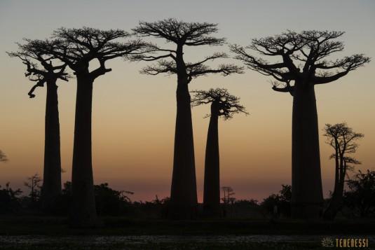 n522/allee.baobab.madagascar.9.jpg