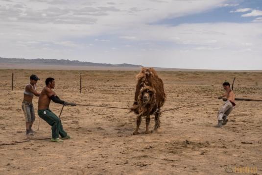 n597/mongolie.gobi.chameaux.tonte.17.jpg