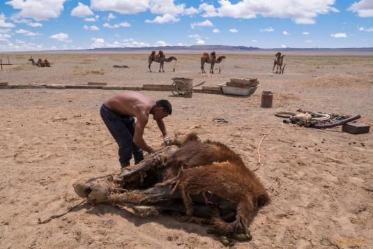 n597/mongolie.gobi.chameaux.tonte.2.jpg