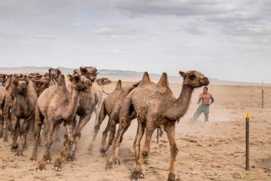 n597/mongolie.gobi.chameaux.tonte.22.jpg