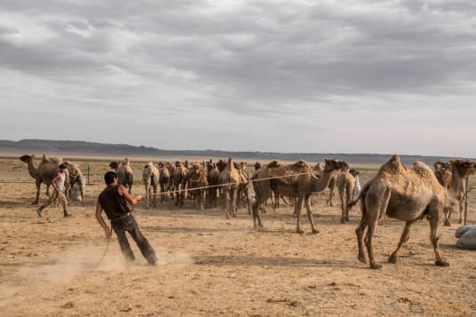 n597/mongolie.gobi.chameaux.tonte.24.jpg