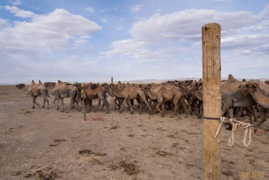 n597/mongolie.gobi.chameaux.tonte.25.jpg