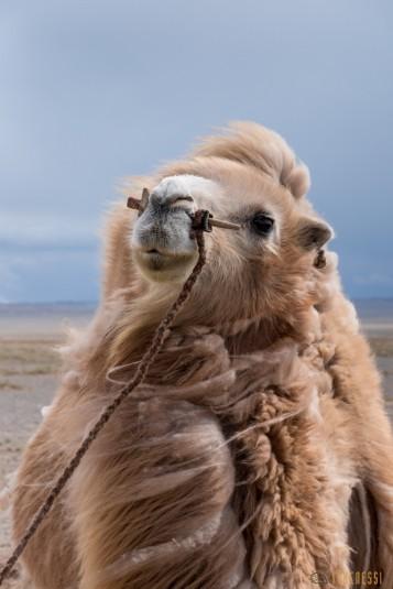 n597/mongolie.gobi.chameaux.tonte.6.jpg